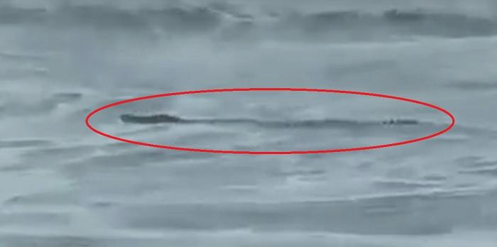 Buaya Muara Muncul Pantai Jatimalang Polsek Purwodadi Purworejo Tribratanews Hari