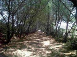 Serasa Jepang Ketika Menyusuri Taman Cemara Purworejo Pantai Pasir Puncu