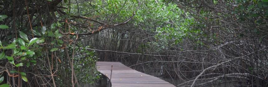 Hutan Mangrove Dukuh Kaliuntu Desa Pasar Banggi Kecamatan Rembang Kab