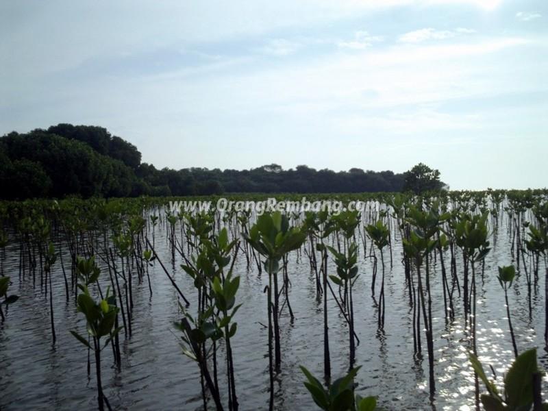 Wisata Hutan Mangrove Kab Rembang Pasar Banggi