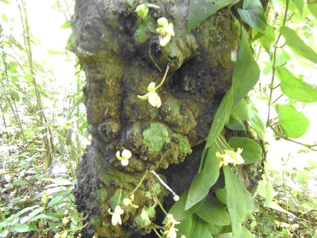 Kepel Stelechocarpus Burahol Taman Wisata Alam Sumber Semen Kabupaten Rembang
