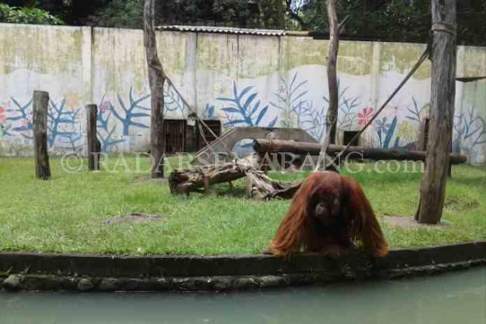 Kandang Bonbin Tak Layak Huni Radarsemarang Terkesan Kumuh Orangutan Berada