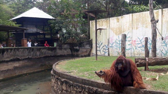 Pengunjung Senang Lihat Orangutan Gajah Bonbin Mangkang Kab Semarang