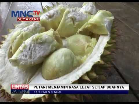 Berburu Durian Langsung Kebun Petani Youtube Official Inews Semarang Wisata