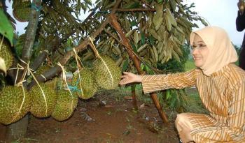 Kebun Durian Watu Simbar Gunungpati Wisata Edukasi Kab Semarang