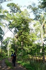 Temu Kencono Kebun Durian Wisata Agro Menyusuri Rindang Edukasi Watu