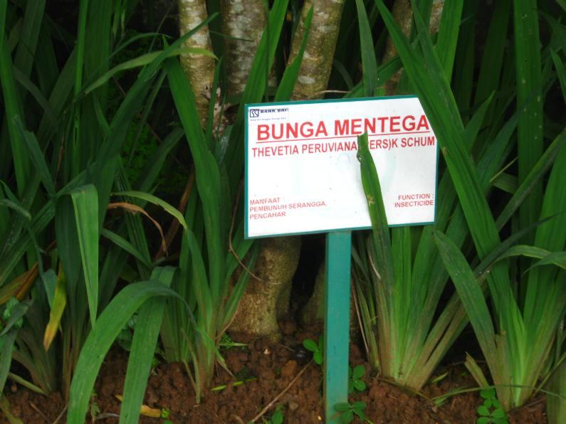 Traveling Taman Djamoe Indonesia Bunga Mentega Jadi Kab Semarang