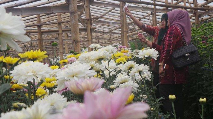 Bayar Rp 10 Ribu Bisa Selfie Sepuasnya Kebun Bunga Krisan
