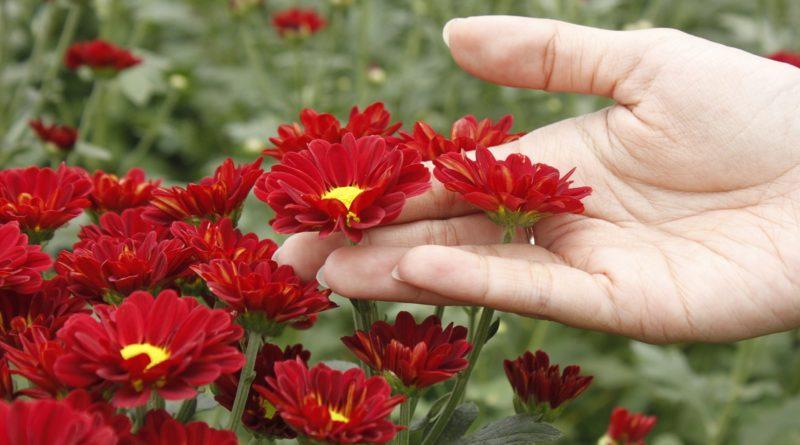 Berburu Foto Wisata Kebun Bunga Krisan Bandungan Semarang Merah Cantik