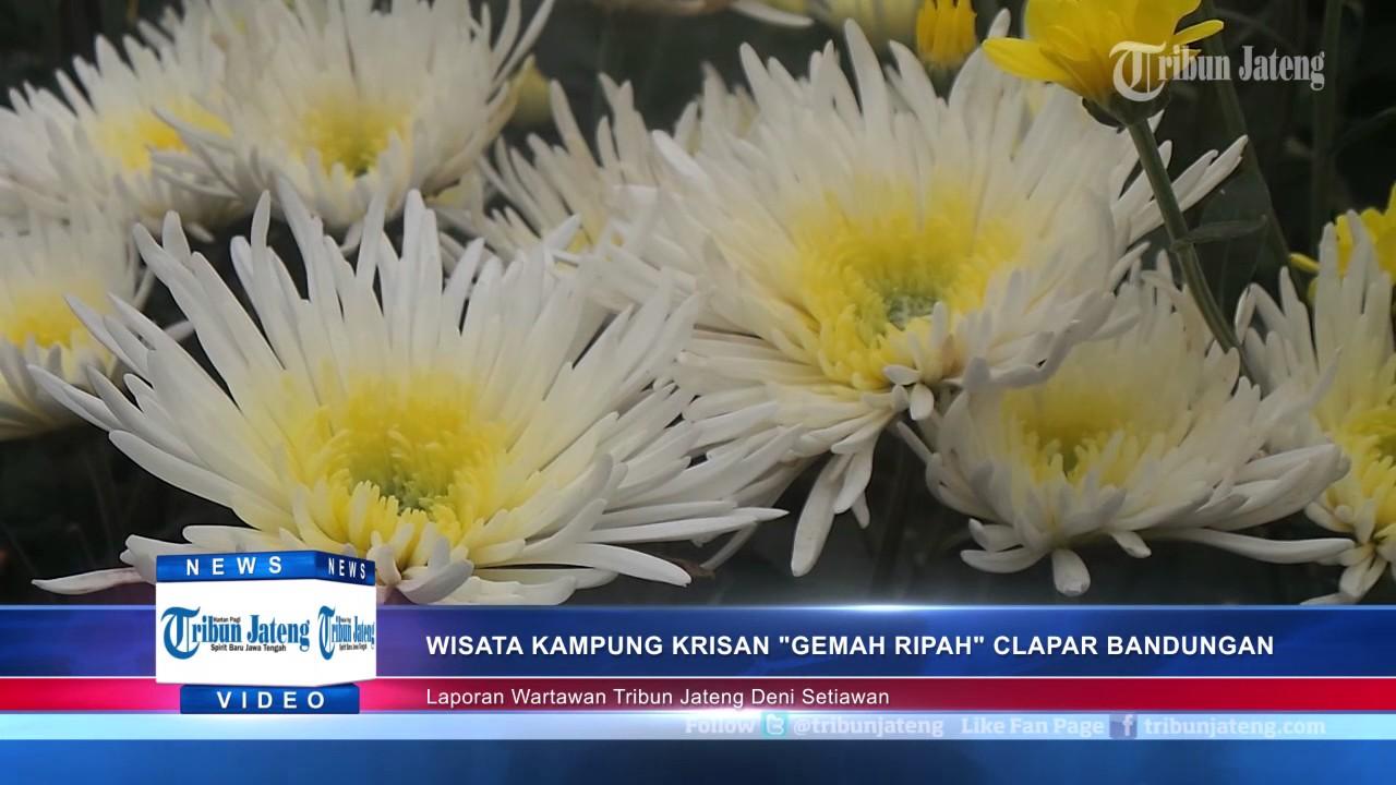 Bisa Menyusuri Keindahan Kebun Bunga Krisan Clapar Bandungan Tribun Jateng