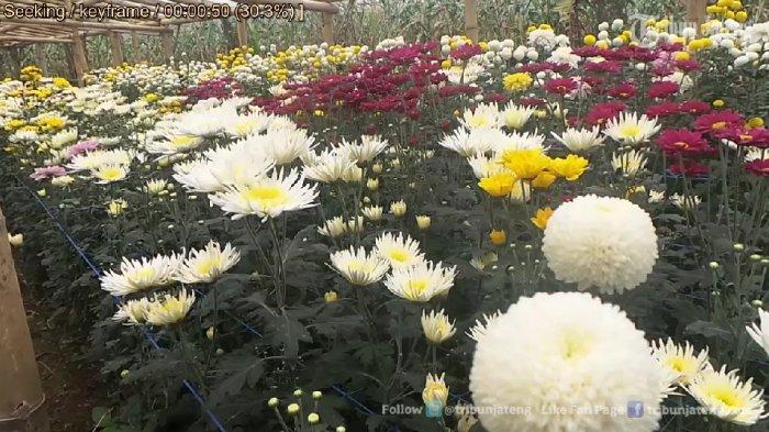 Bisa Menyusuri Keindahan Kebun Bunga Krisan Clapar Bandungan Videonya Wisata