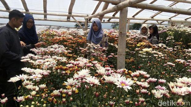 Cantik Kampung Bisa Selfie Bareng Hamparan Bunga Krisan Kebun Clapar