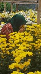 Hebatnya Dusun Clapar Bikin Kelompok Tani Bangun Kebun Bunga Krisan
