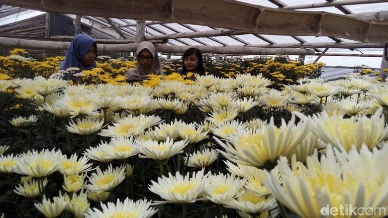 Kampung Bisa Selfie Bareng Hamparan Bunga Krisan Wisata Clapar Kab