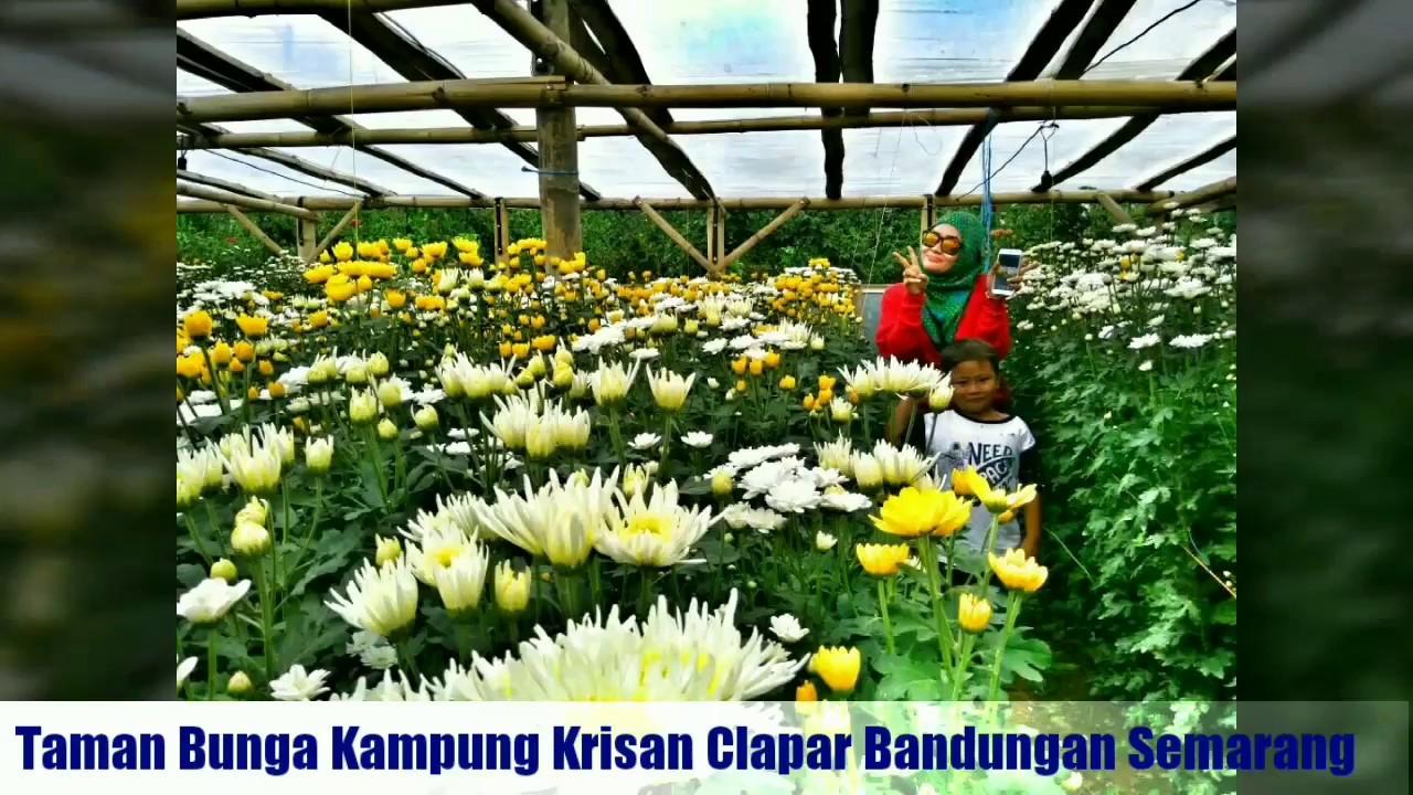 Kampung Krisan Clapar Bandungan Semarang Youtube Wisata Kab