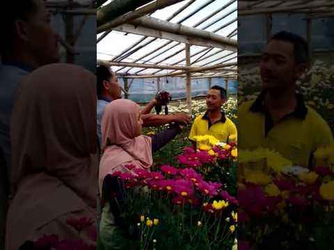 Kampung Krisan Clapar Bunga Youtube Wisata Kab Semarang