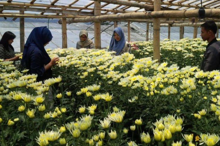Kampung Krisan Clapar Keindahan Kebun Bunga Kaki Gunung Ungaran Obyek