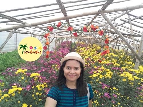 Wisata Kebun Bunga Kampung Krisan Clapar Setiya Aji Flower Dua