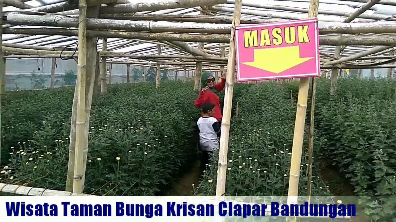 Wisata Taman Bunga Kampung Krisan Clapar Youtube Kab Semarang