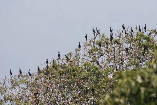 Pulau Dua Surga Ribuan Burung Migran Banten Merahputih Kab Serang