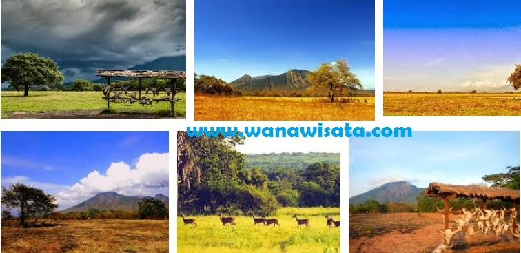 Padang Savana Afrika Kecil Balai Taman Nasional Baluran Situbondo Banyuwangi