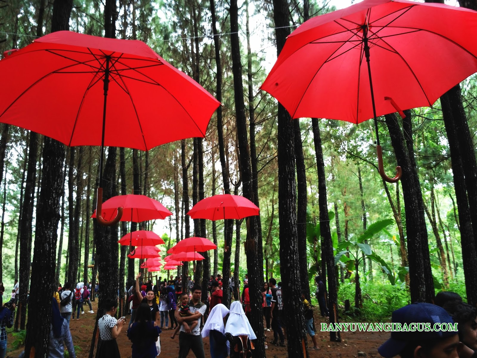 Wisata Hutan Pinus Songgon Spot Selfi Terkini Banyuwangi Rumah Dalem