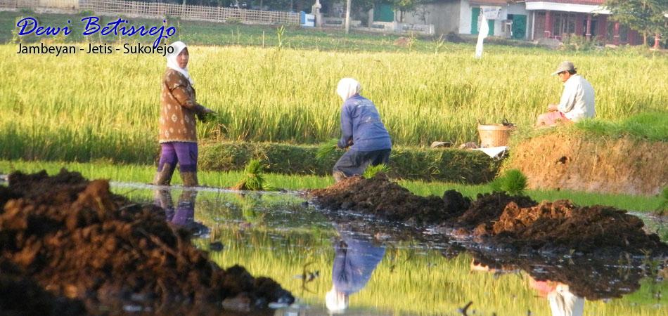 Desa Wisata Betisrejo Landscape Pertanian Padi Organik Header2 Alam Kab