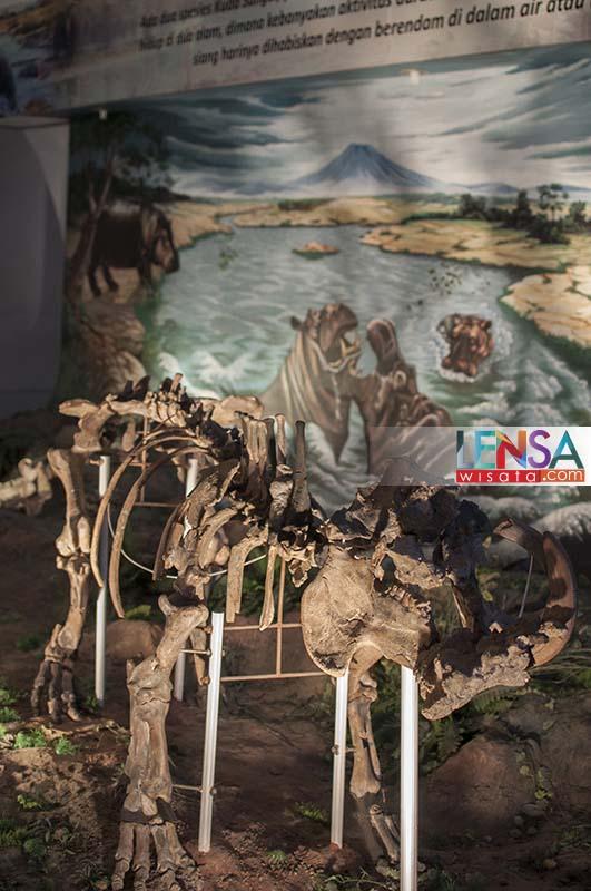 Mengunjungi Museum Purbakala Sangiran Lensawisata Fosil Kuda Nil Purba Ditemukan