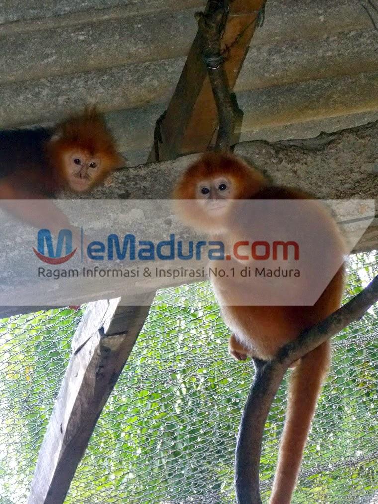 Daftar Tempat Wisata Kecamatan Manding Sumenep Caramembobolwifi Lutung Kuning Wps