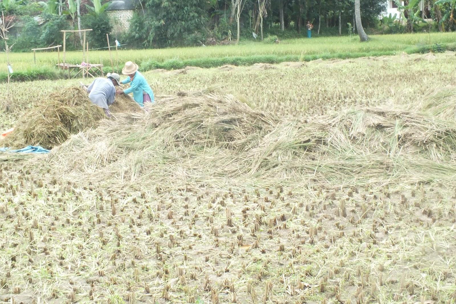 Potret Pekerjaan Keramahan Masyarakat Desa Kasengan Kabupaten Petani Memanen Padi