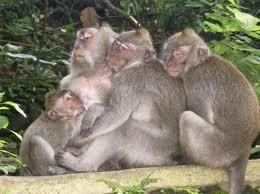 Alas Kedaton Bali Monkey Forest Apen 5 Indonesian Tourist Temple