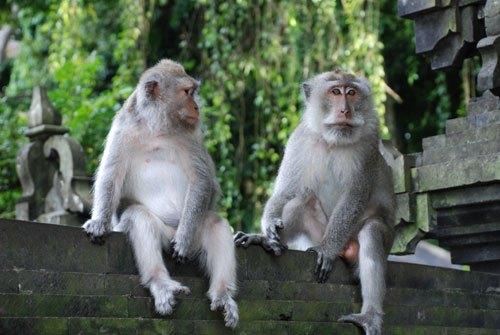 Alas Kedaton Monkey Forest Bali Hot Deals Tours Travel Monkeys