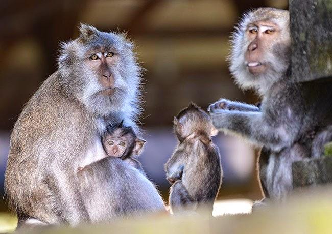 Alas Kedaton Monkey Forest Bali Indonesia Tourist Attraction Kab Tabanan