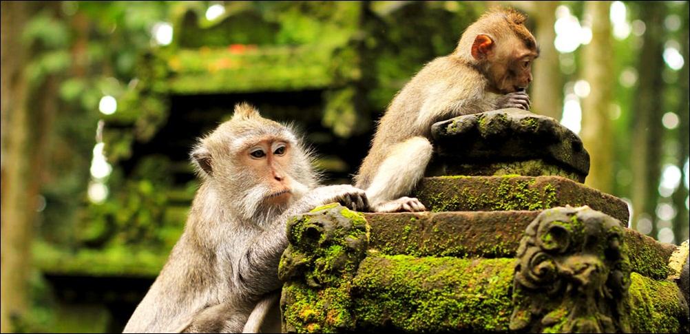 Alas Kedaton Monkey Forest Bali Small Rain 12 Hectares Size