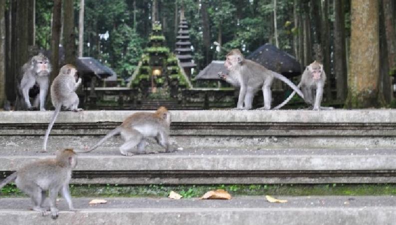 Alas Kedaton Temple Monkey Forest Bali Jungle Trekking Kab Tabanan