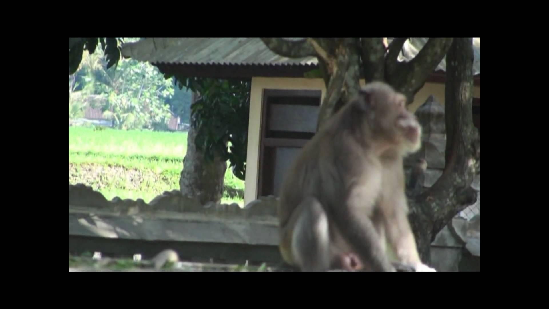 Bali Tour Alas Kedaton Monkey Forest Tabanan Youtube Kab