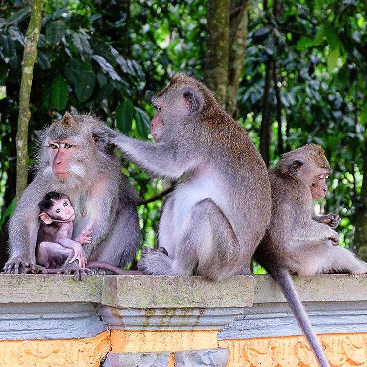 Objek Wisata Alas Kedaton Pura Suci Ala Monkey Forest 3