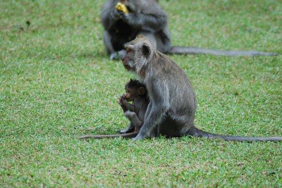 Scimmia Piccolo Picture Alas Kedaton Tabanan Tripadvisor Kab