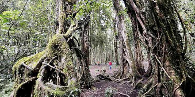 Begonia Duta Bali Dunia Kompas Pengunjung Mengamati Pohon Beringin Raksasa