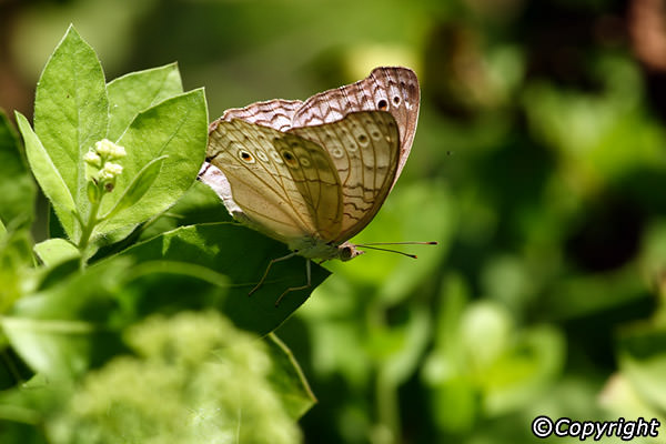 Bali Butterfly Park Taman Kupu Animal Attraction Good Kab Tabanan