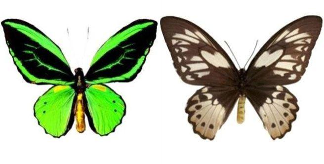 Bali Butterfly Park Taman Kupu Tabanan Regency Ornithoptera Priamus Kab