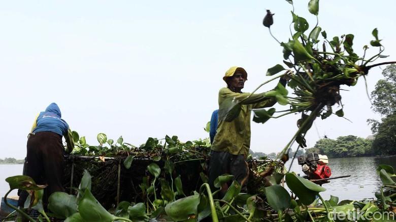 Eceng Gondok Cipondoh Pembersihan Kab Tangerang