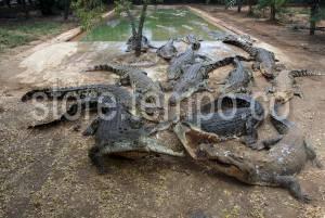 Buaya Tanjung Pasir Taman Kab Tangerang