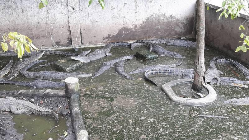 Taman Buaya Tanjung Pasir Gotravelly Kira Terdapat Sekitar 500 Dibagi