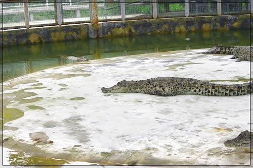 Taman Buaya Tanjung Pasir Mendidik Menghibur Dewi Sartika Spesies Diantaranya
