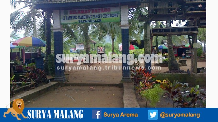 Berkunjung Kampung Mangrove Cengkrong Trenggalek Waktu Tepat Hutan Pancer Kab