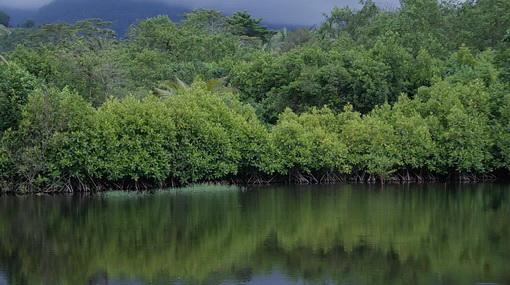 Hutan Mangrove Pancer Cengkrong Gallery Sungai Pantai Kab Trenggalek