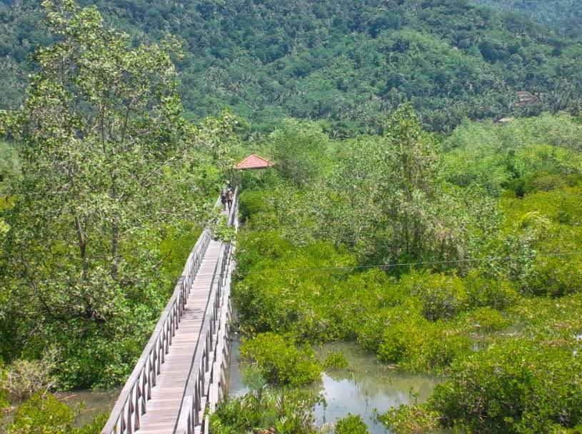 Hutan Mangrove Pancer Cengkrong Thothok Kerang Bakau Lokasi Budidaya Sekaligus