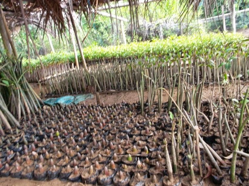 Hutan Mangrove Pancer Cengkrong Watulimo Trenggalek Jawa Timur Menjaga Melestarikan