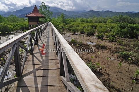 Jembatan Galau Hutan Mangrove Pancer Cengkrong Trenggalek Kayu Kab